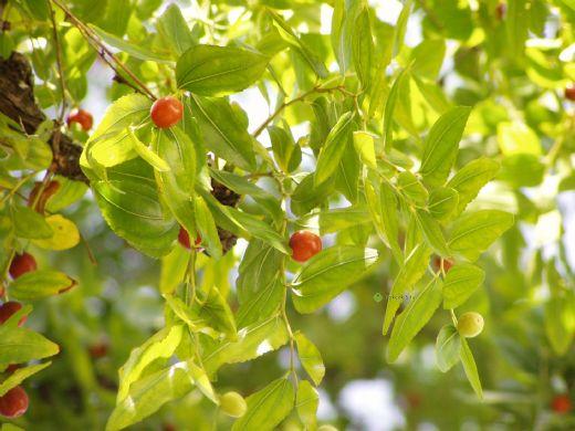 Hünnap Ağacı Türleri Ve özellikleri Hunnapgentr