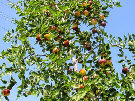 Hünnap Ağacı Nerede Yetişir Hunnapgentr